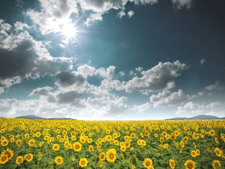 Sunflower field image photo