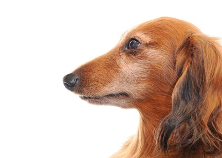 Dachshund Stock Photo - 18710967