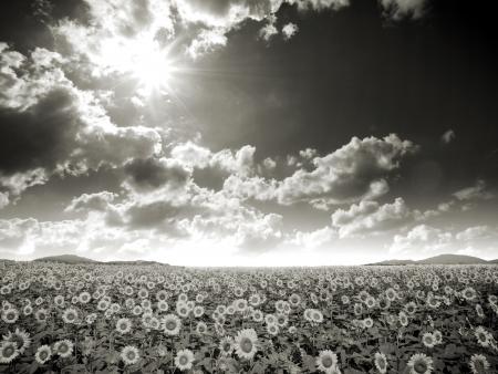 Sunflower field image photo