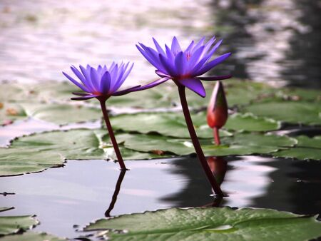 Twins Purple Water Lilies