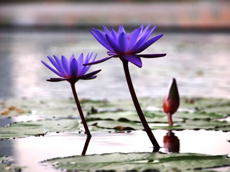 Double Purple Water Lilies