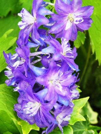 Violeta Blossom rama Foto de archivo