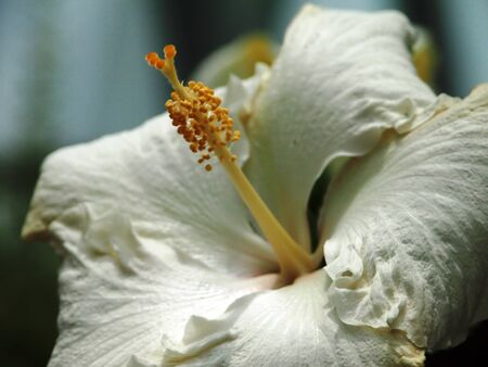 White Chinese Hibiscus Stock Photo - 15656861