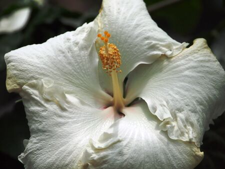 White Chinese Hibiscus Stock Photo - 15656858