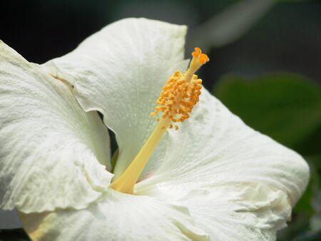 Blanco Chinese Hibiscus