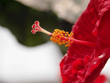Red Chinese Hibiscus Stock Photo - 15656860