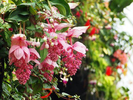 Gigantes Flores rosadas en las hojas verdes colgantes de pared