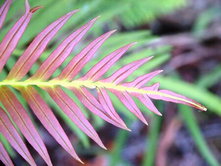 Natural reddish fern leaf Stock Photo