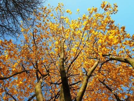 Los �rboles del oto�o bajo el cielo azul Foto de archivo