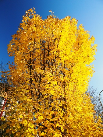 Golden Yellow Autumn Tree Stock Photo - 16533710
