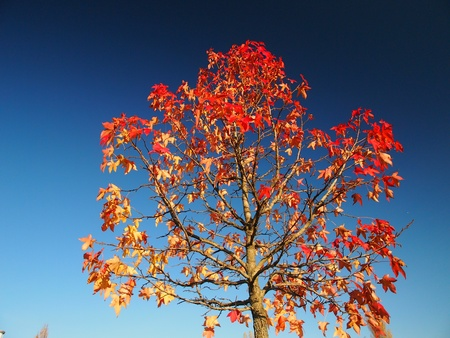 Red leave tree under blue sky