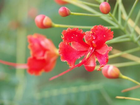 Red flower with long pistil