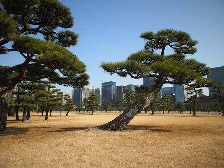 Tradicional estilo japon�s del �rbol de pino con el edificio moderno fondo del horizonte Foto de archivo