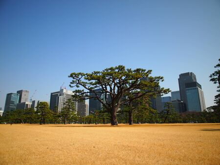 Traditional Japanese Style Pine tree with Modern Building skyline background