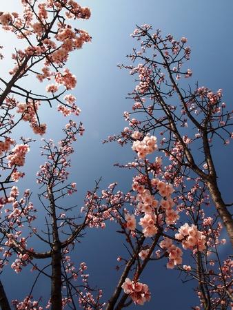 Sakura florece