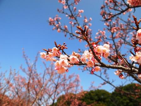 Sakura blossoms Stock Photo