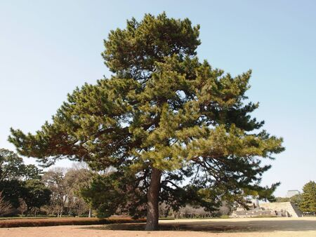Giant Pine Tree Stock Photo - 18366218