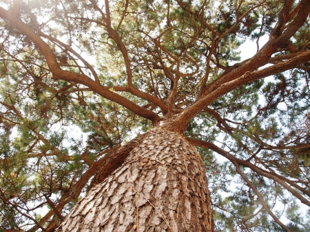 Looking upward of a Giant Pine Tree