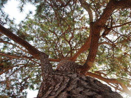 Mirando hacia arriba de un pino gigante