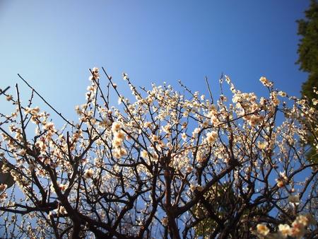 Flores blancas del melocot�n