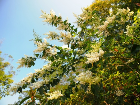 White blossoms of sweet olive