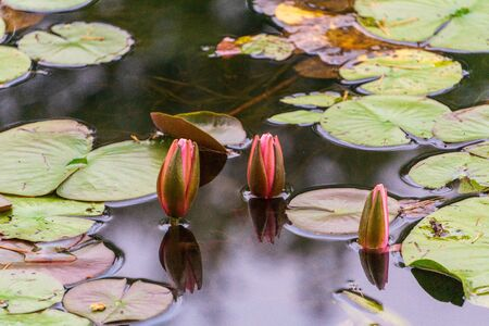 three lotus closed surrounded by lilypads Banque d'images - 132112472