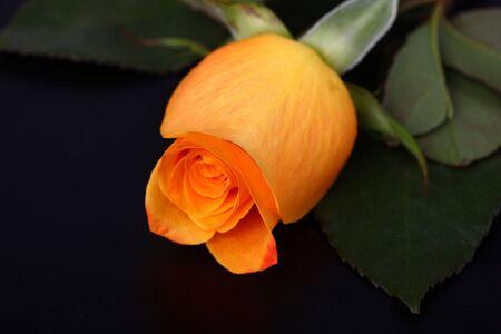 cameron highland malaysia rose Stock Photo - 7029806