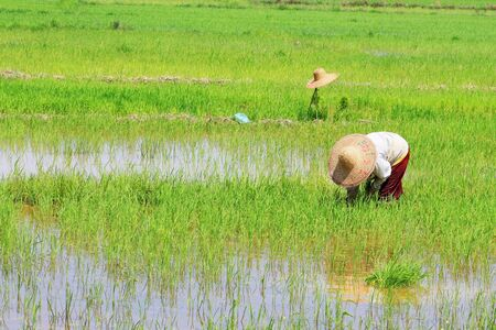 paddy work at asian country Stock Photo
