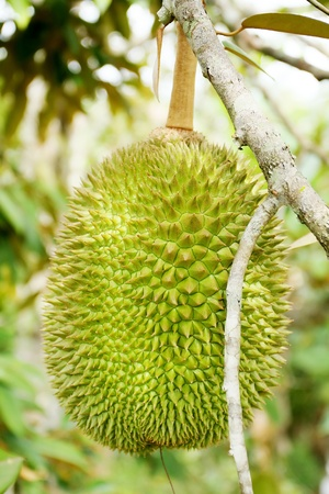 the king asian fruit most popular in tropica country photo