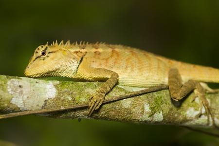 frilled: nature lizard still on branch Stock Photo
