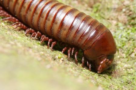 mature millipede on green moss