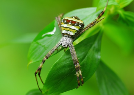 xysticus: crab spider on green leaf