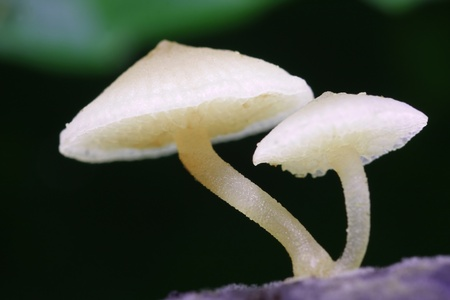 fairy toadstool: twin white fungus in tropical green forest