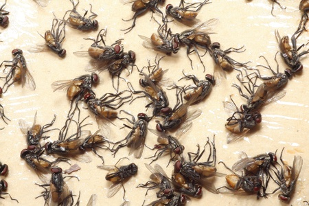 annoyance: many Flies death to Flypaper
