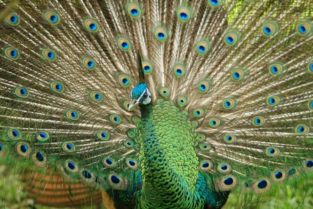 colourfull peacock is rare wild animal photo