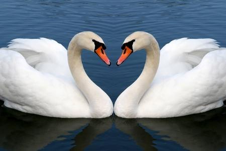cisnes: dos cisnes en el amor la formación de Foto de archivo