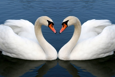 reflection in mirror: two swan in love forming