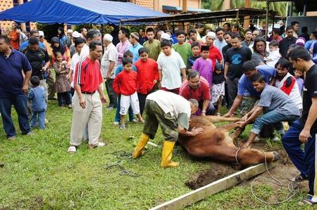 slaughtering: Malaysia I musulmani celebrano l'Eid al-Adha macellando pecore, mucche e cammelli in ricordo del sacrificio di Ibrahim Profeta offerta della vita di suo figlio Ismail solo al comando di Allah. Kuantan, Malesia. 6 novembre 2011