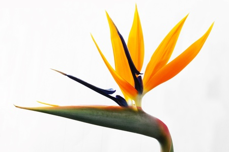 tropical bird: yellow heliconia flower on isolated background Stock Photo