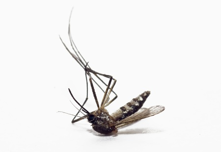 malaria: dead mosquito on isolated background Stock Photo
