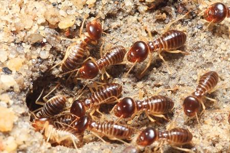 termite: group of termite soil soldier Stock Photo