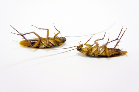 two cockroach dead on isolated background photo
