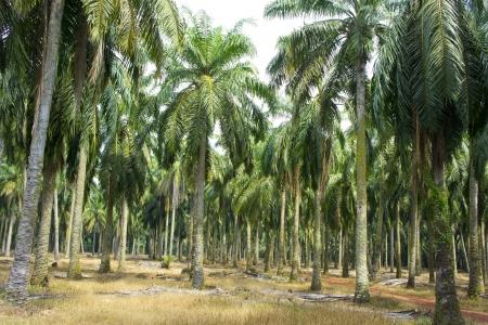 mature palm oil tree commodity Stock Photo - 13997997