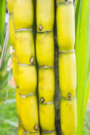sugar cane farm: sweet sugar cane in bundle Stock Photo