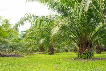palm oil tree is growing photo