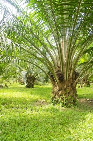 palm oil tree is growing up photo