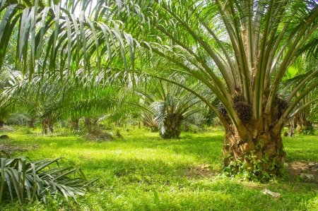 trees with thorns: palm oil farm to grow up