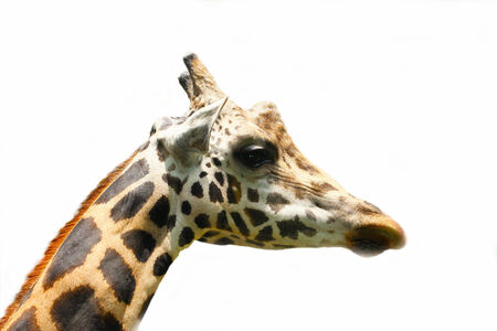 long neck: portrait of giraffe on isolated background