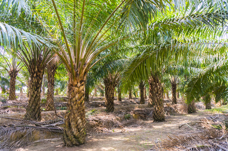 red palm oil: palm oil tree growing up