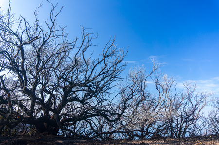 dead trees: dead tree and blue sky